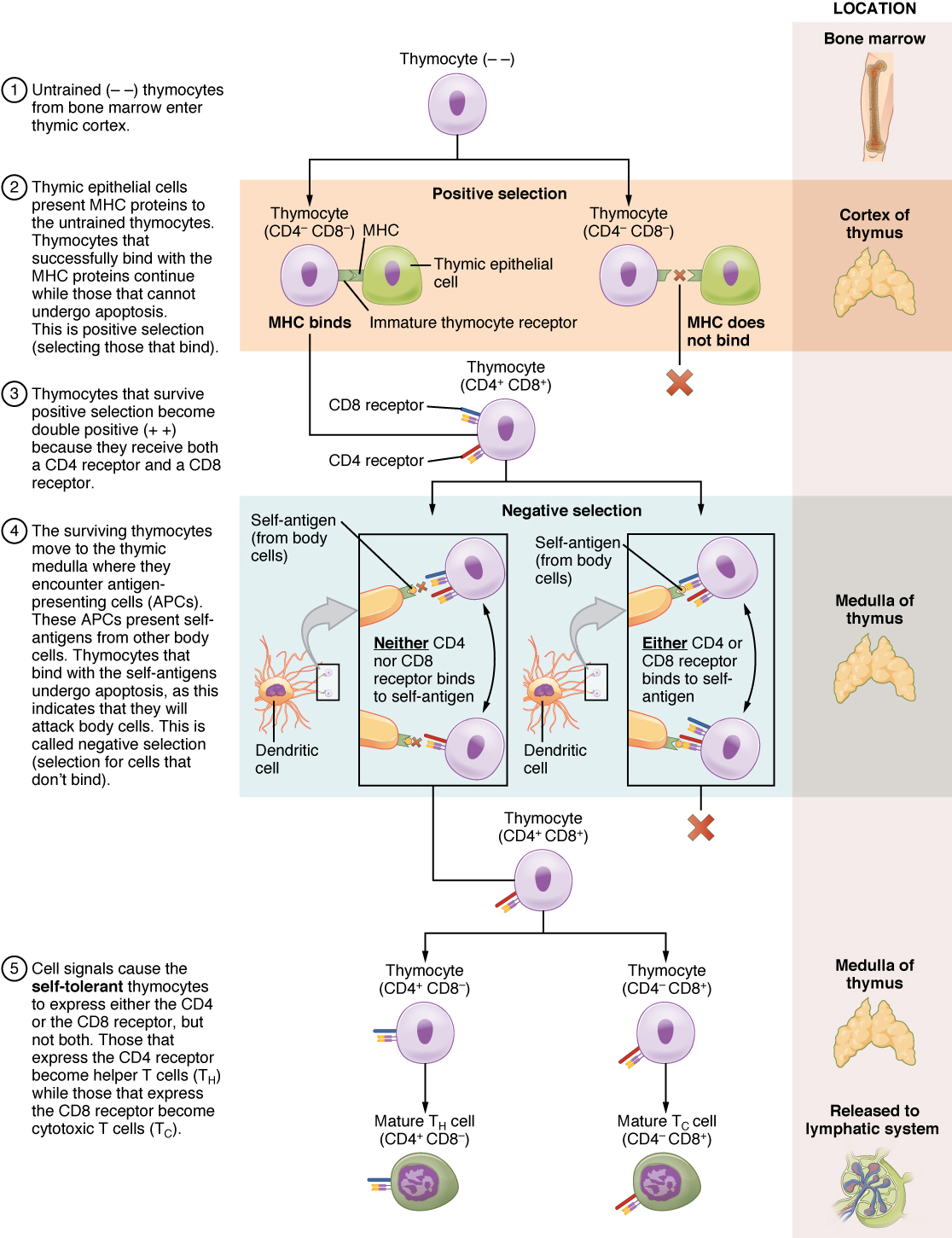 This multipart figure shows the different steps in the differentiation of a thymocyte into T cells. For each step of the process, accompanying text details the steps in the process. The right panel of this image shows the location of the different steps in the process.