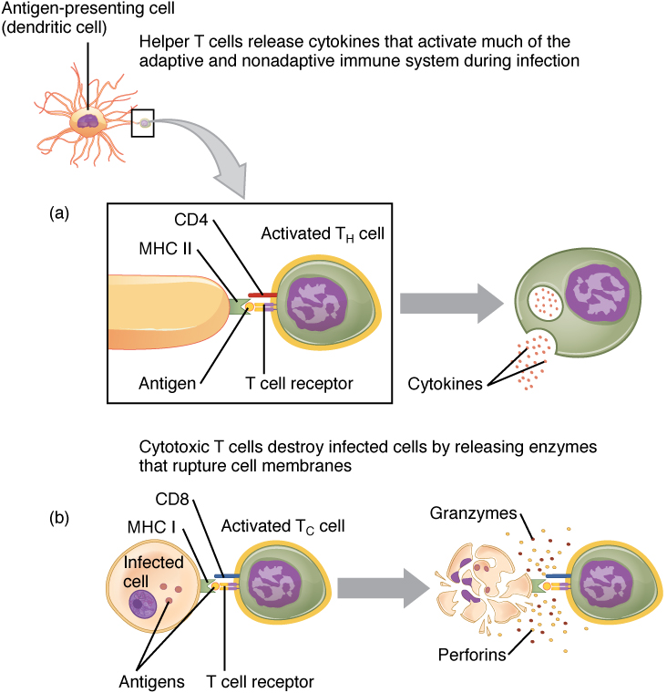 This figure shows the different steps in processing an extracellular pathogen.