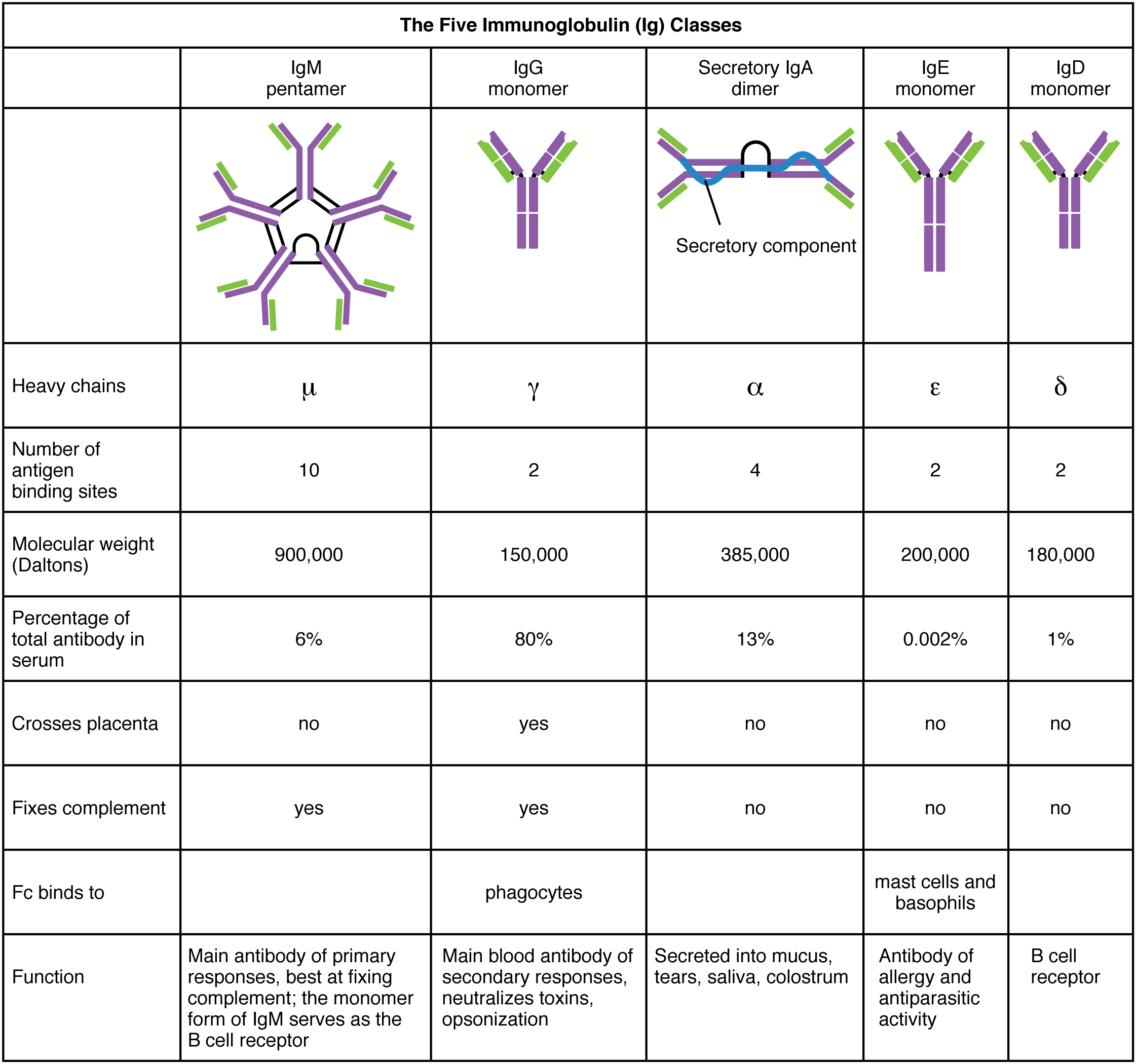This table shows the five classes of the immunoglobulins. The table shows the molecular weight, number of antigen binding sites, and their function.