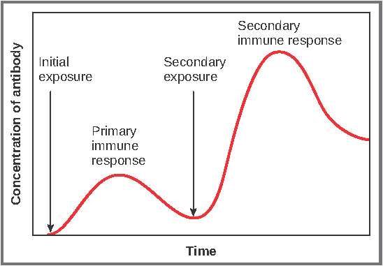 This graph shows the antibody concentration as a function of time in primary and secondary response.
