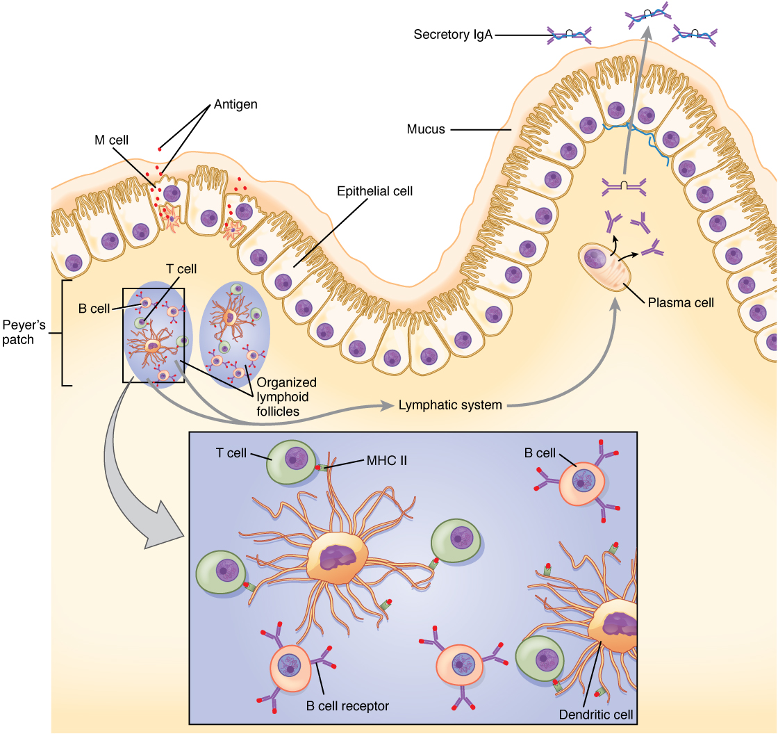 This diagram shows the process in which cells of the small intestine generate IgA immunity.