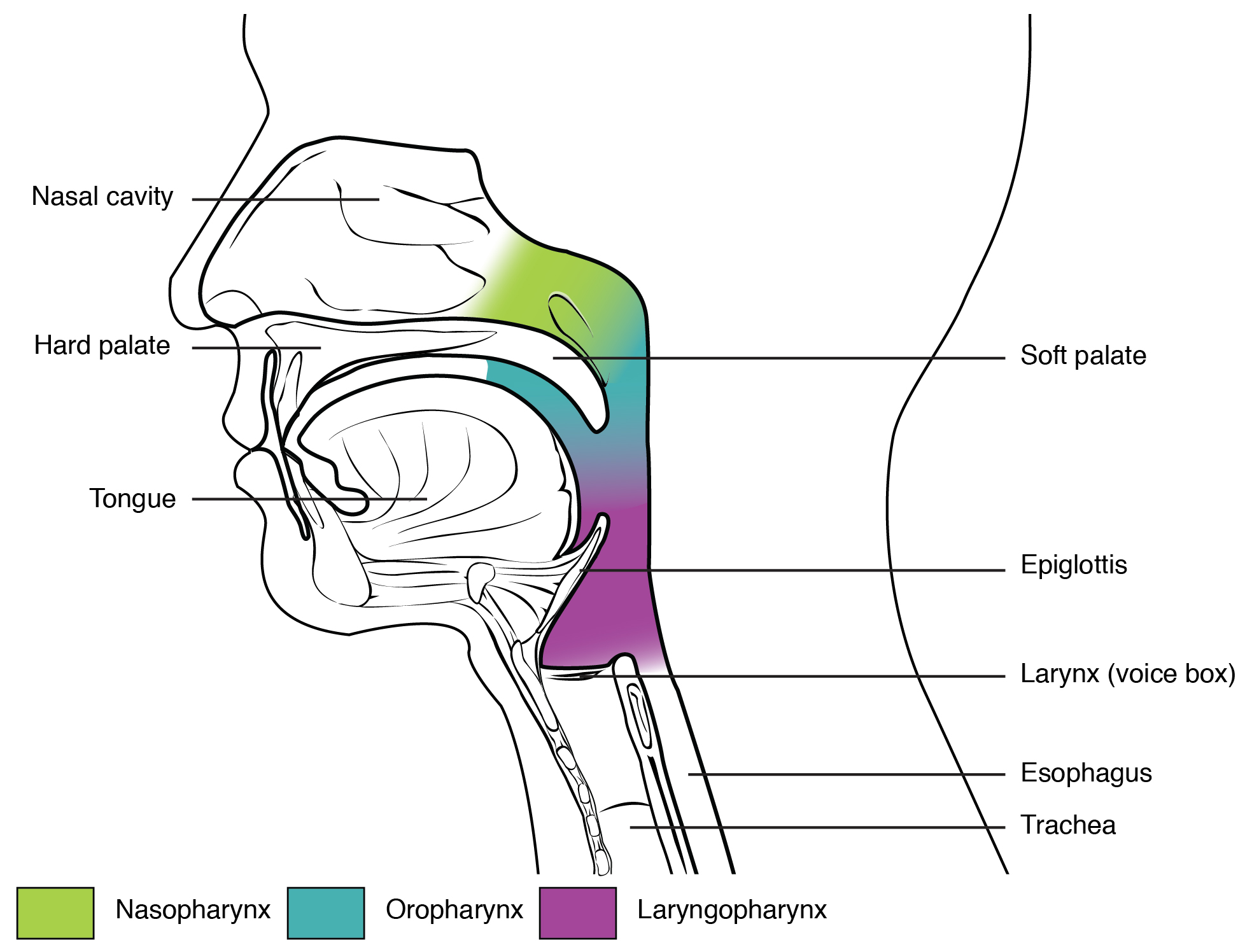 This figure shows the side view of the face. The different parts of the pharynx are color-coded and labeled.