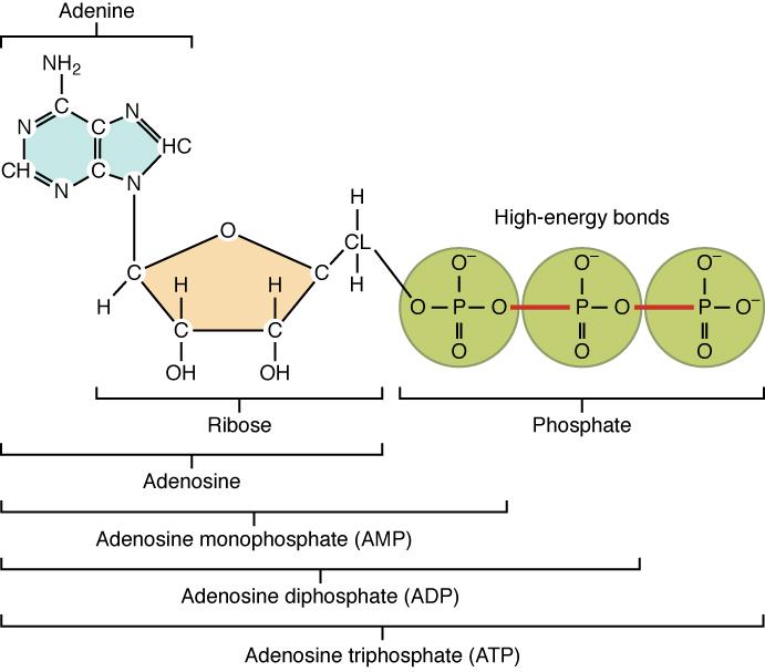 Structure of Adenosine Triphosphate (ATP)