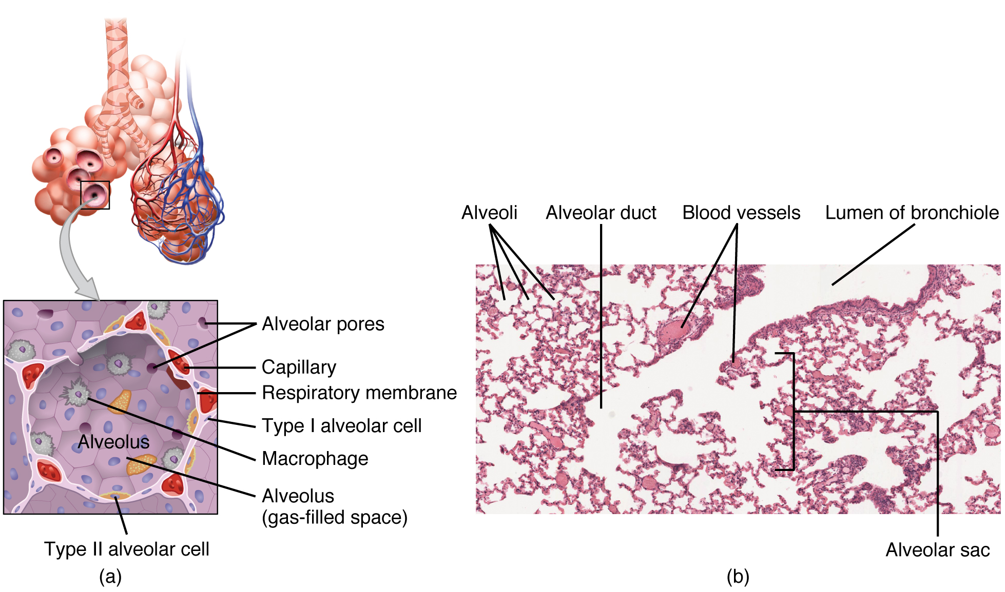 This figure shows the detailed structure of the alveolus. The top panel shows the alveolar sacs and the bronchioles. The middle panel shows a magnified view of the alveolus, and the bottom panel shows a micrograph of the cross section of a bronchiole.