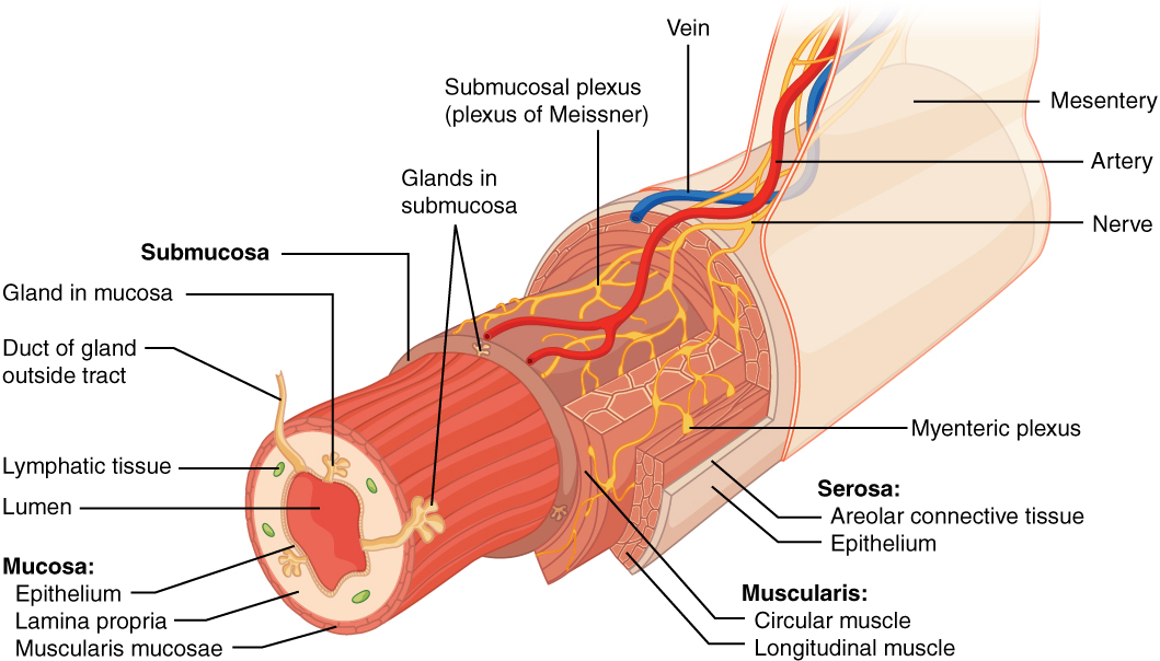 This image shows the cross section of the alimentary canal. The different layers of the alimentary canal are shown as concentric cylinders with major muscles and veins labeled.