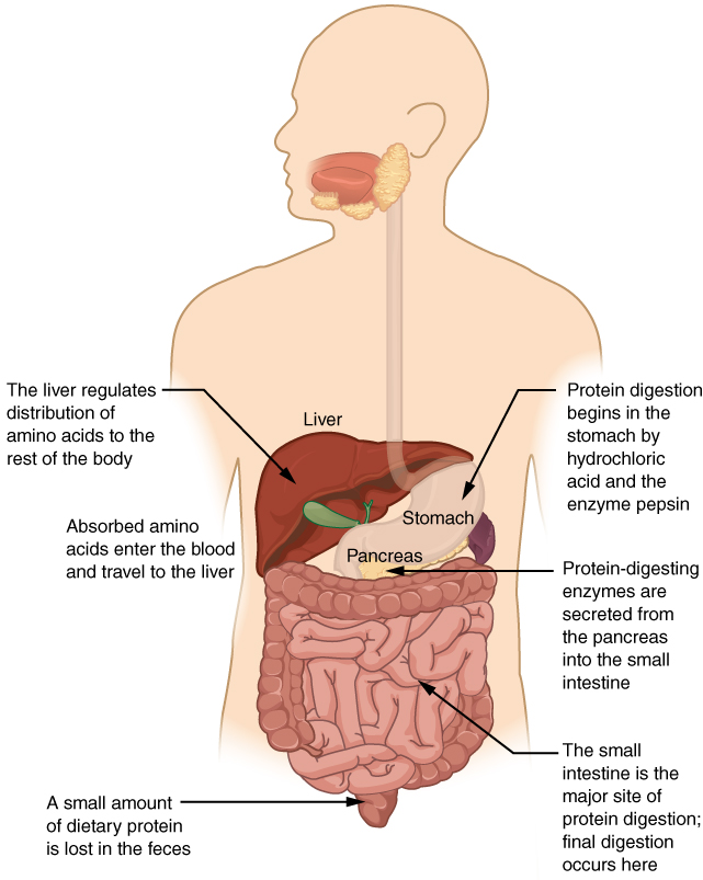 This diagrams shows the human digestive system and identifies the role of each organ in protein digestion. A text call-out next to each organ details the specific function.