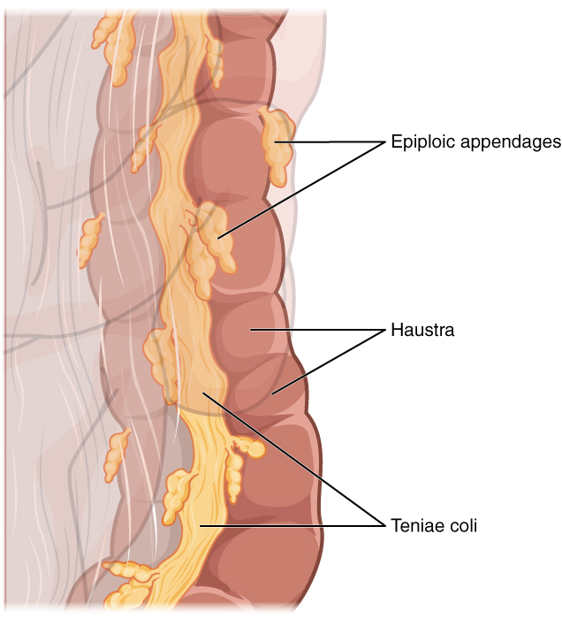 This image shows the Taenia Coli, haustra and epiploic appendages, which are parts of the large intestine.