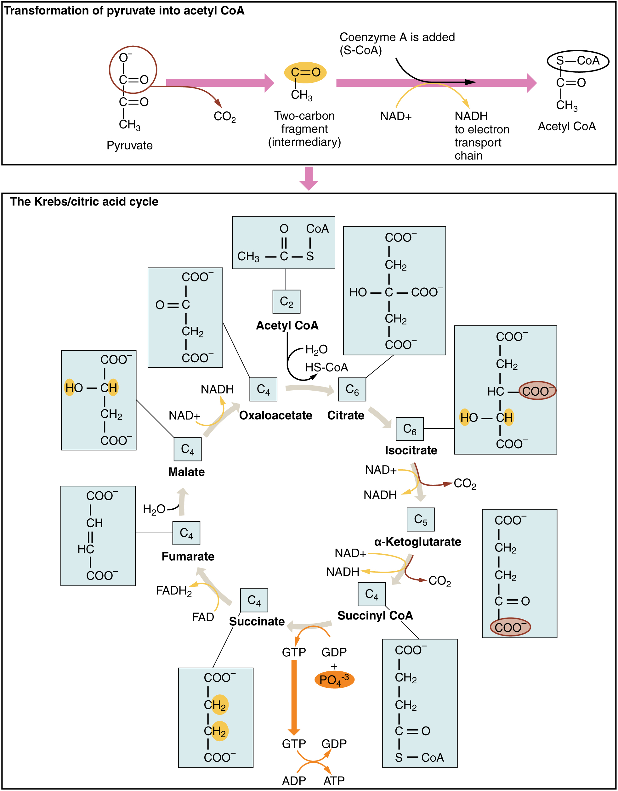 The top panel of this figure shows the transformation of pyruvate to acetyl-CoA, and the bottom panel shows the steps in Krebs cycle.