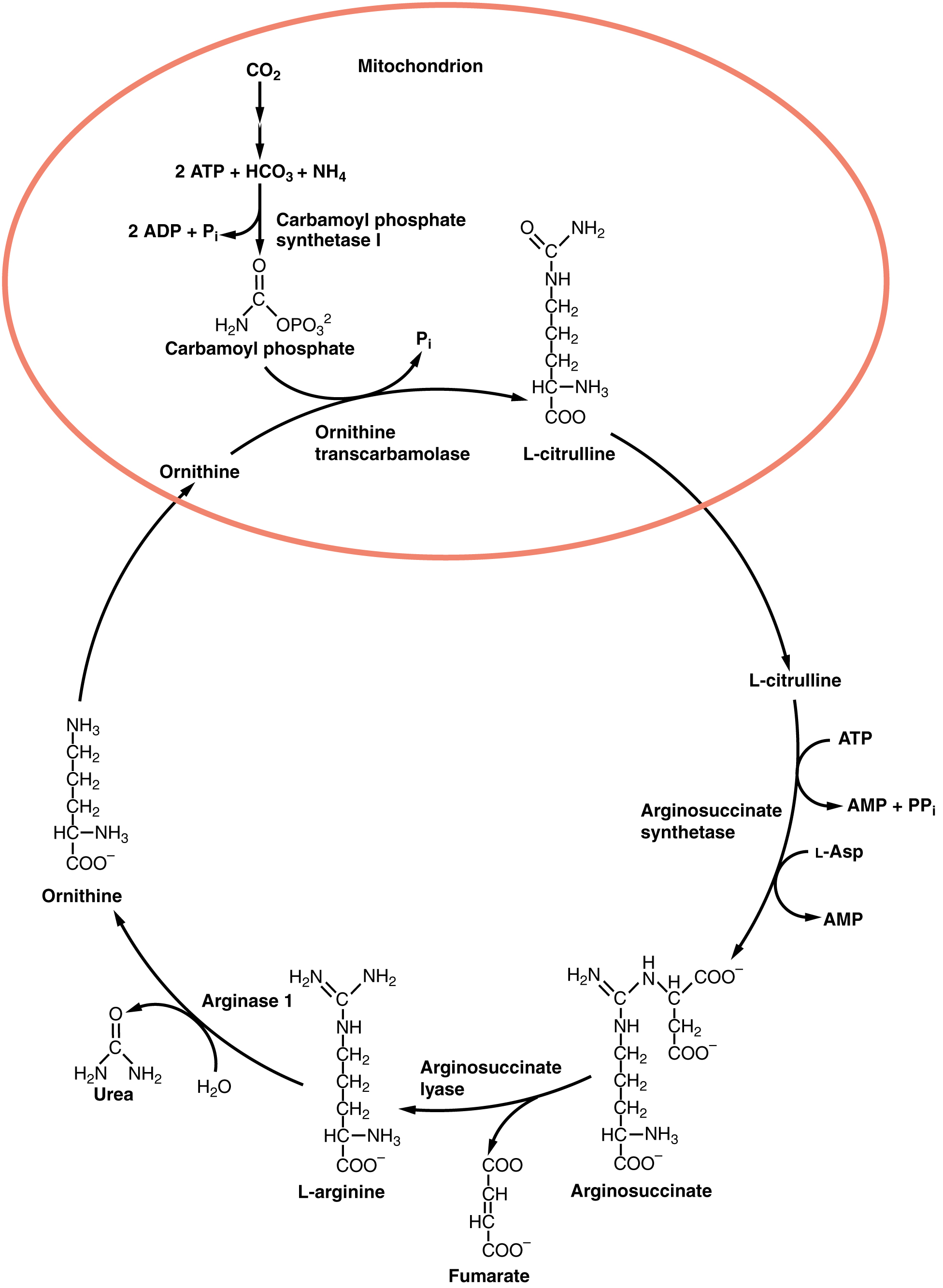 This image shows the reactions of the urea cycle and the organelles in which they take place.