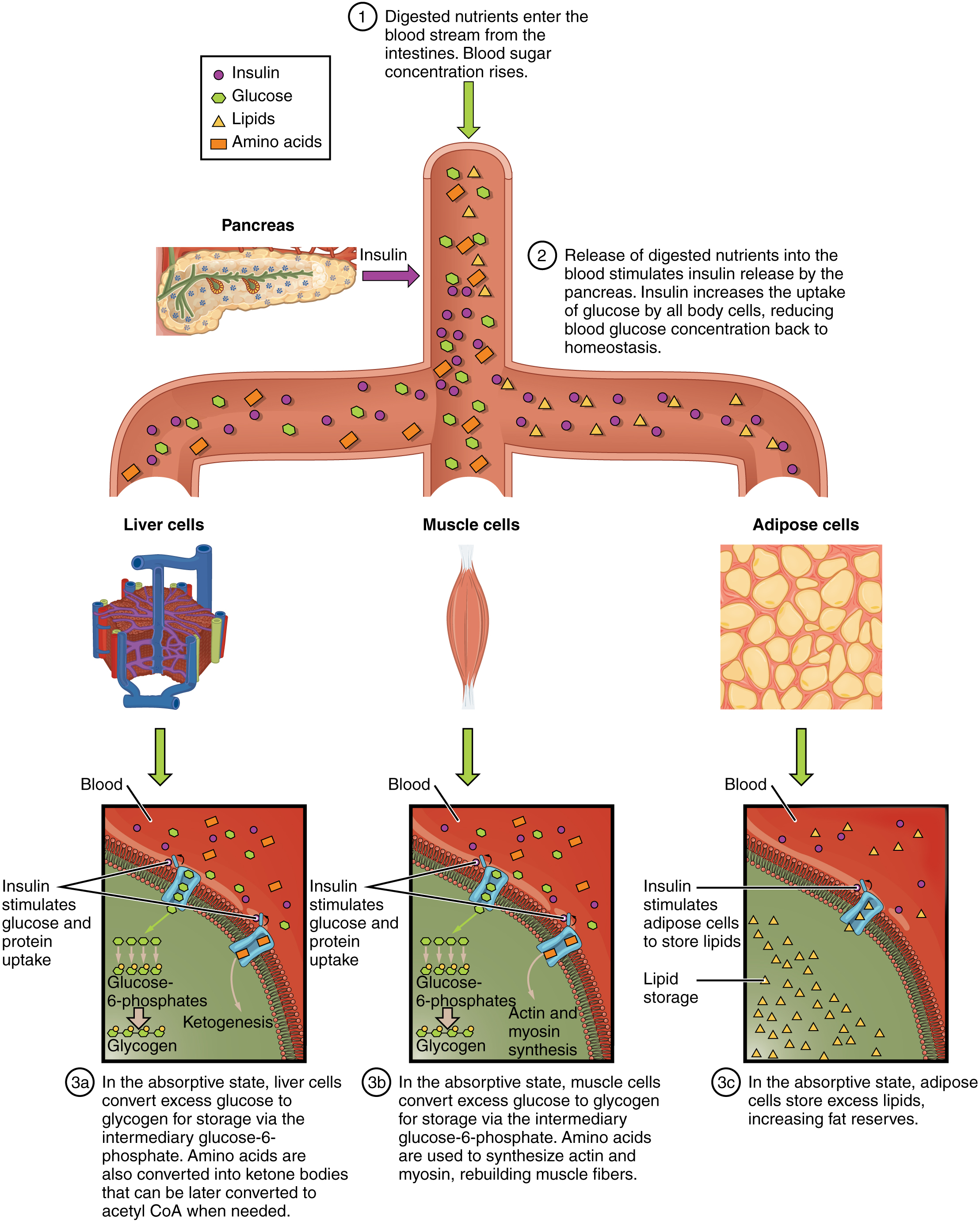 This figure shows how nutrients are absorbed by the body. The diagram shows digested nutrients entering the blood stream and being absorbed by liver cells, muscle cells, and adipose cells. Underneath each panel, text details the process taking place in each cell type.