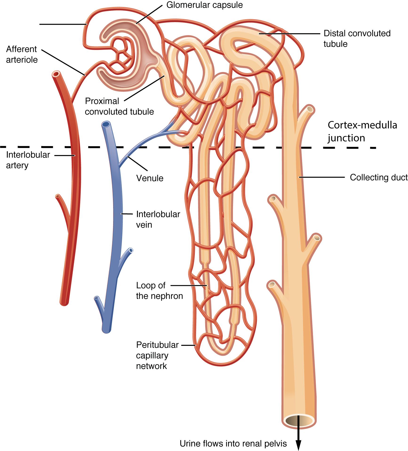 25.2 Microscopic Anatomy of the Kidney: Anatomy of the Nephron – Anatomy &  PhysiologyOregon State University, Open Educational Resources Unit