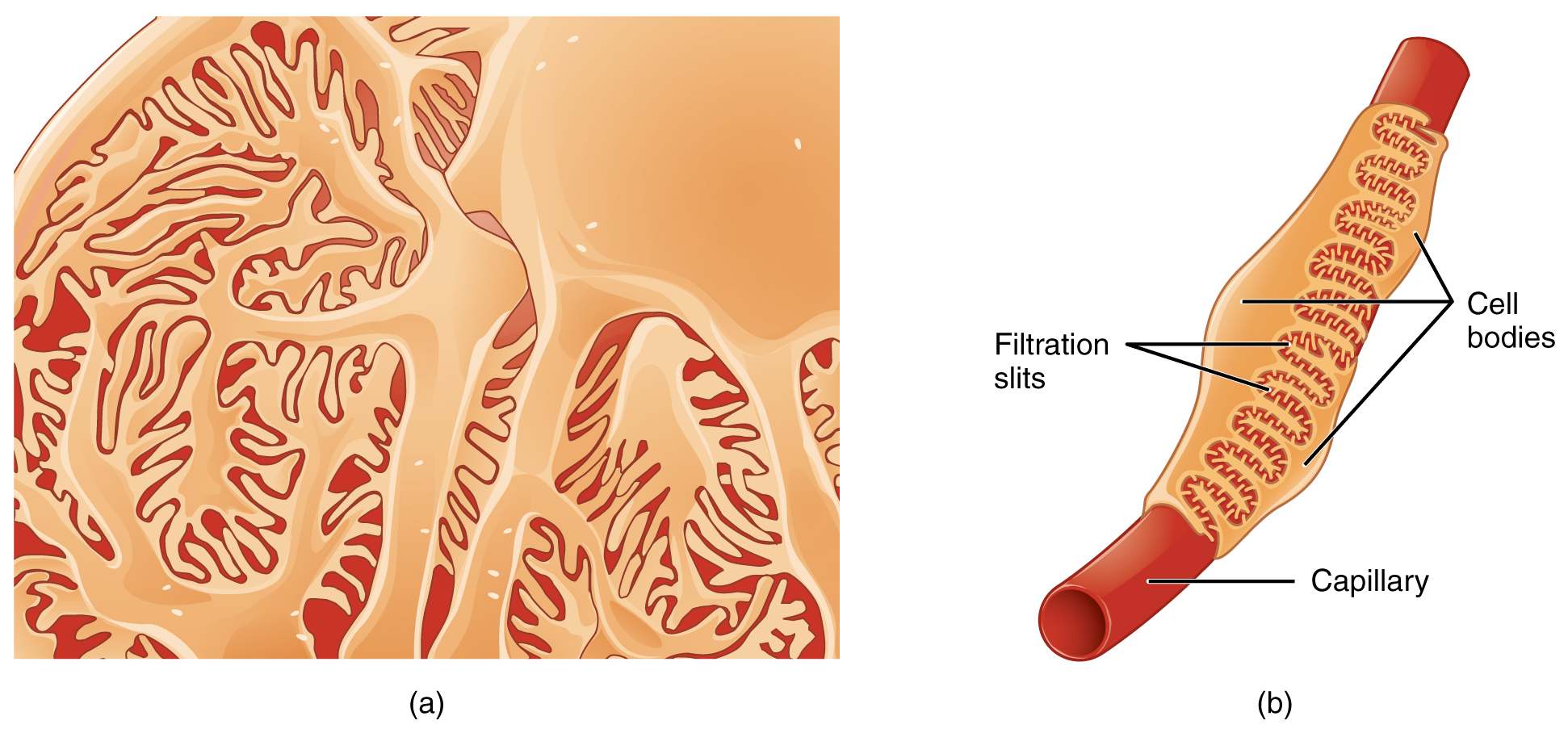 The left panel of this figure shows an image of a podocyte. The right panel shows a tube-like structure that illustrates the filtration slits and the cell bodies.