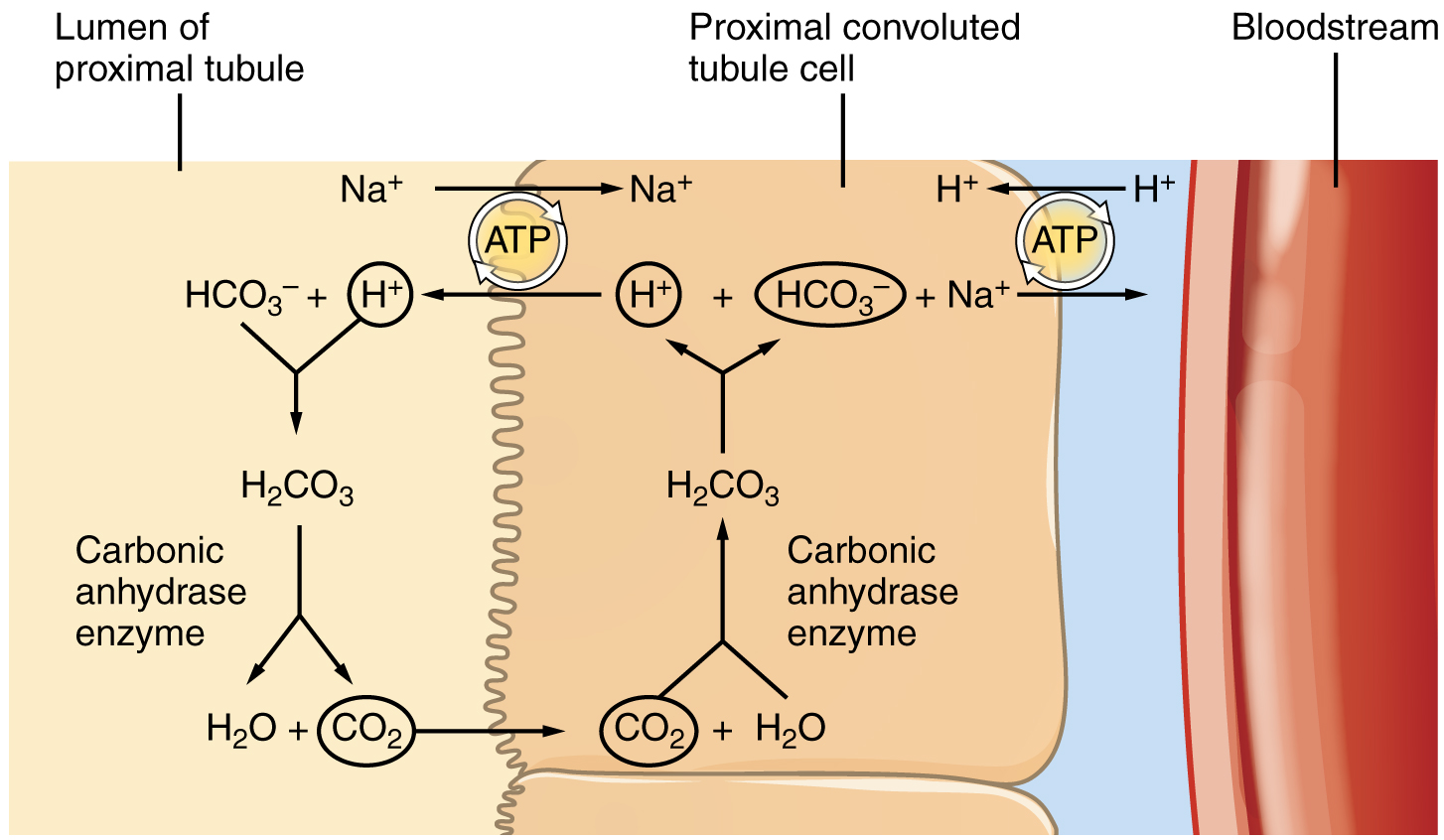 This diagram shows the process of reabsorption of bicarbonate by the proximal collecting tubule.