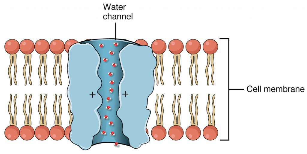 This figure shows an aquaporin water channel in the bilayer membrane with water molecules passing through.