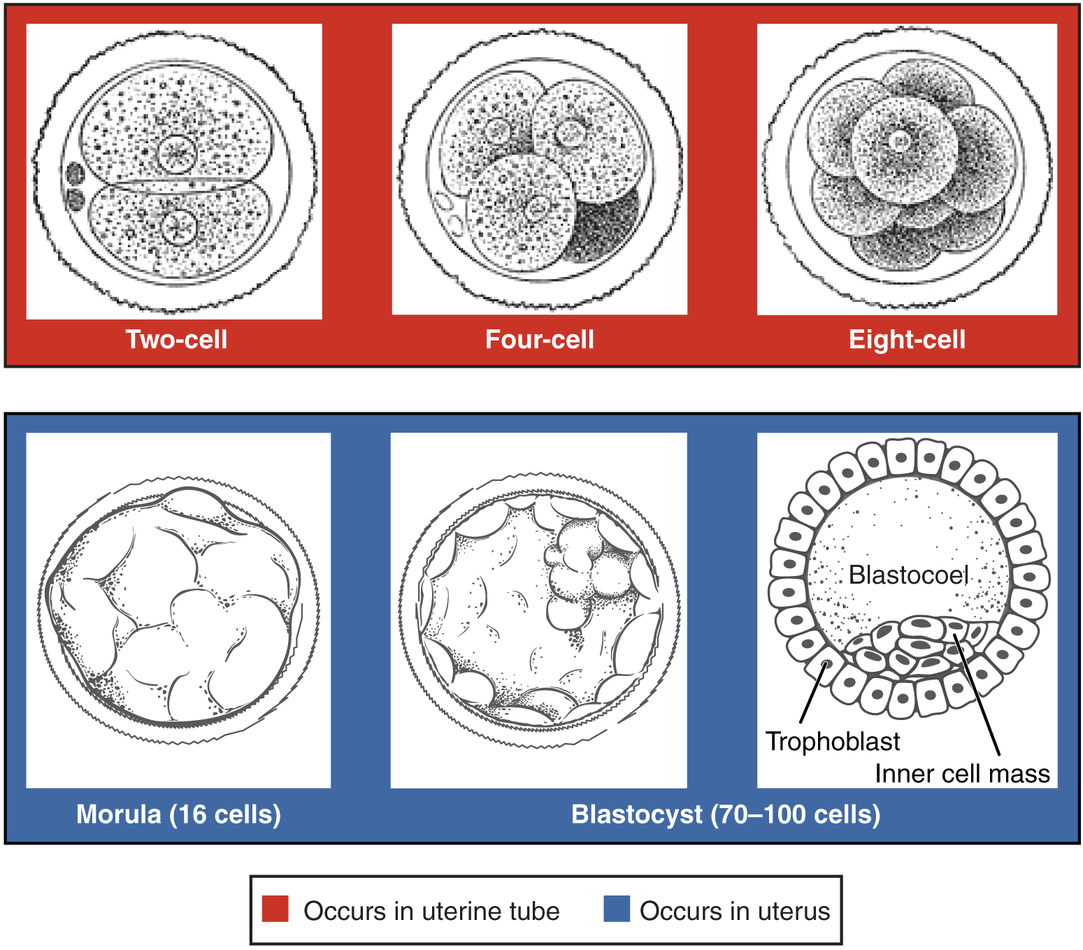 This figure shows the different stages of cell divisions taking place before the embryo is formed. The top panel shows the cell divisions occurring in the uterine tube and the bottom panel shows the cell divisions occurring in the uterus.
