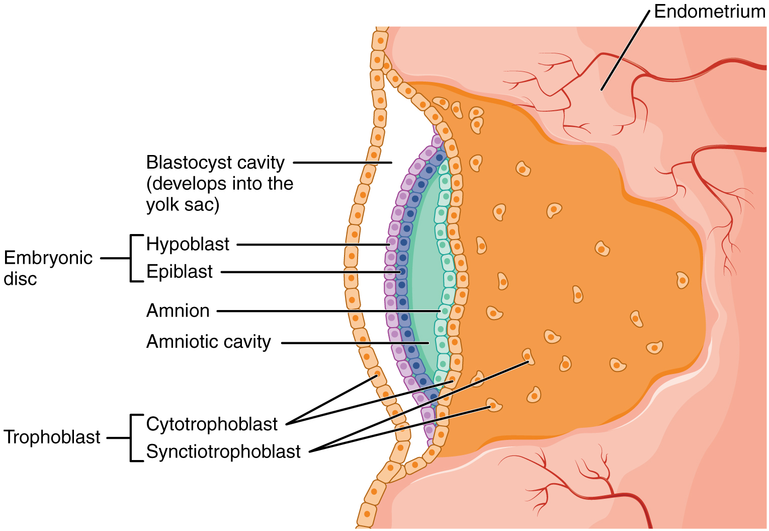 This image shows the development of the amniotic cavity and the location of the embryonic disc.