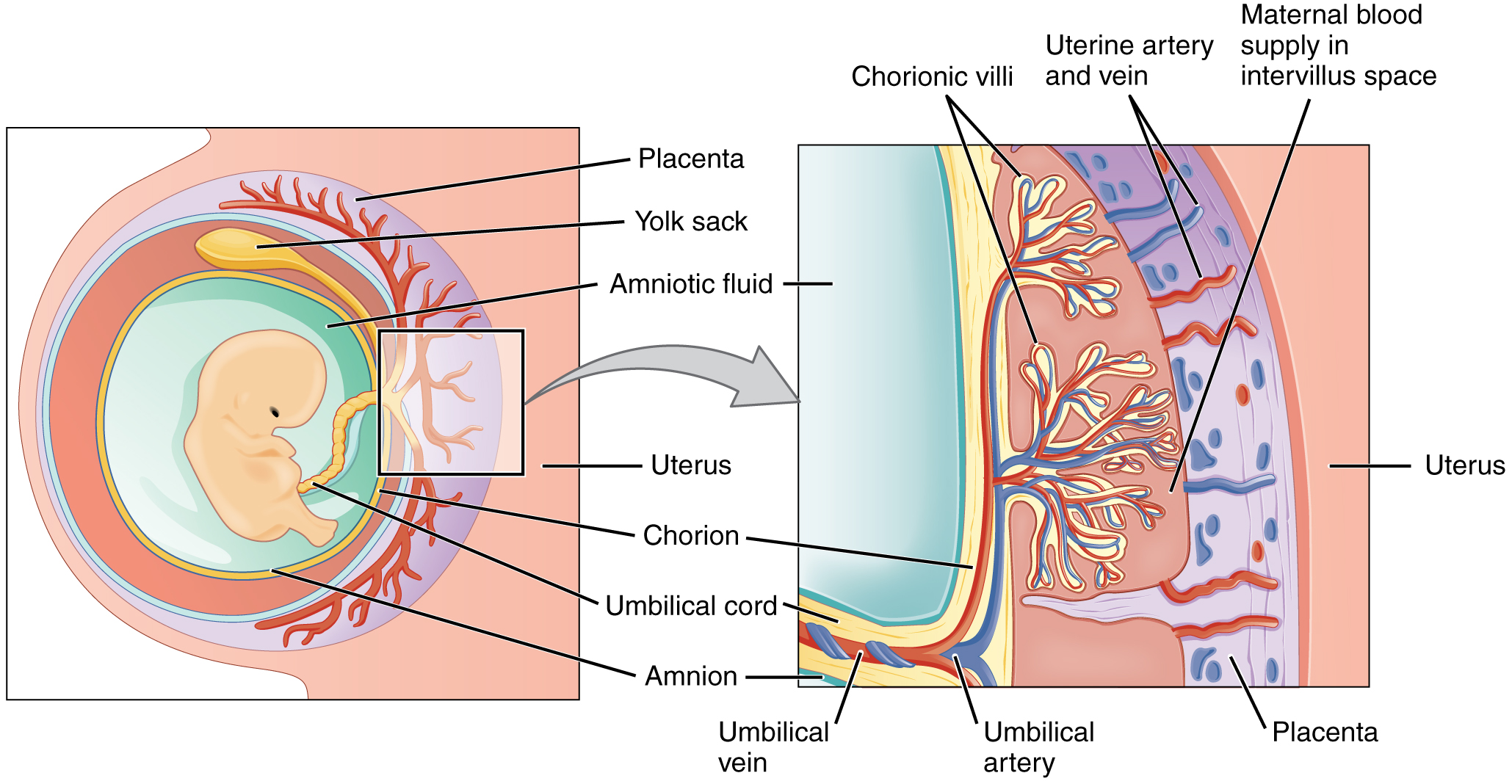 This figure shows the location and structure of the placenta. The left panel shows a fetus in the womb. The right panel shows a magnified view of a small region including the placenta and the blood vessels.