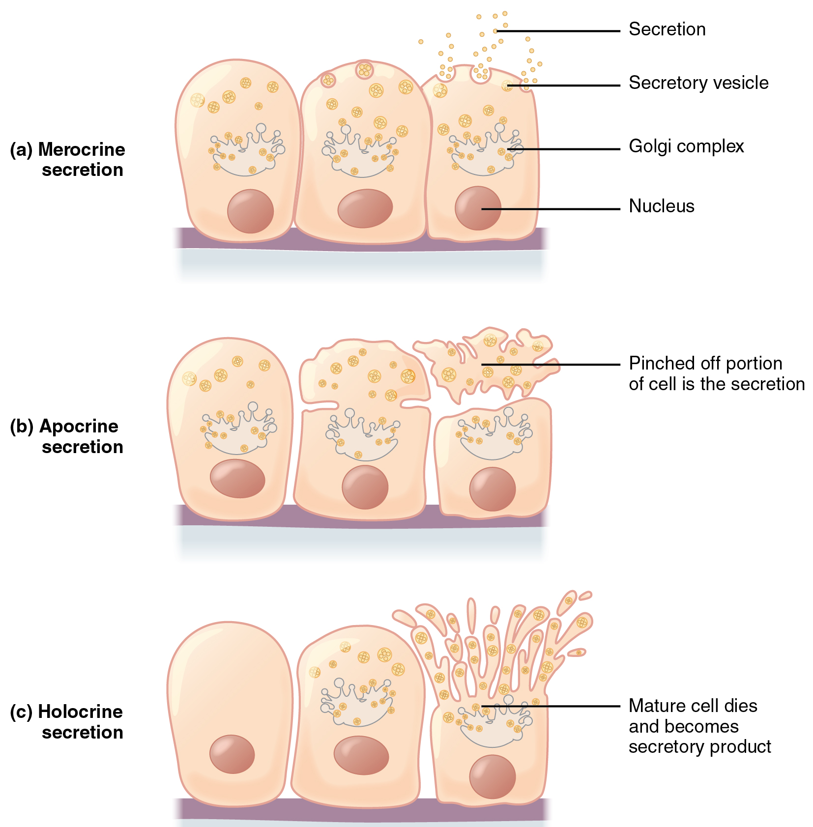 These three diagrams show the three modes of secretion. All three diagrams show three orange cells in a line with attached to a basement membrane. Each cell has a large nucleus in its lower half. The upper half of each cell contains a Golgi apparatus, which appears like an upside down jellyfish. Yellow secretory vesicles are budding from the top end of the Golgi apparatus. Each vesicle contains several orange circles, which are the secreted substance. In merocrine secretion, the secretory vesicles travel to the top edge of the cells and release the secretion from the cell by melding with the cell membrane. In apocrine secretion, the top third of the cell, which contains the secretory vesicles, pinches in at the sides and then completely disconnects above the Golgi complex. The pinched off portion of the cell is the secretion, as it contains the majority of the secretory vesicles. In holocrine secretion, the upper third of the cell, just above the Golgi complex, forms many finger like projections. Each projection contains several vesicles. The tips of the projections that contain secretory vesicles bud off from the cell. In this method of secretion, the mature cell eventually dies and becomes the secretory product.