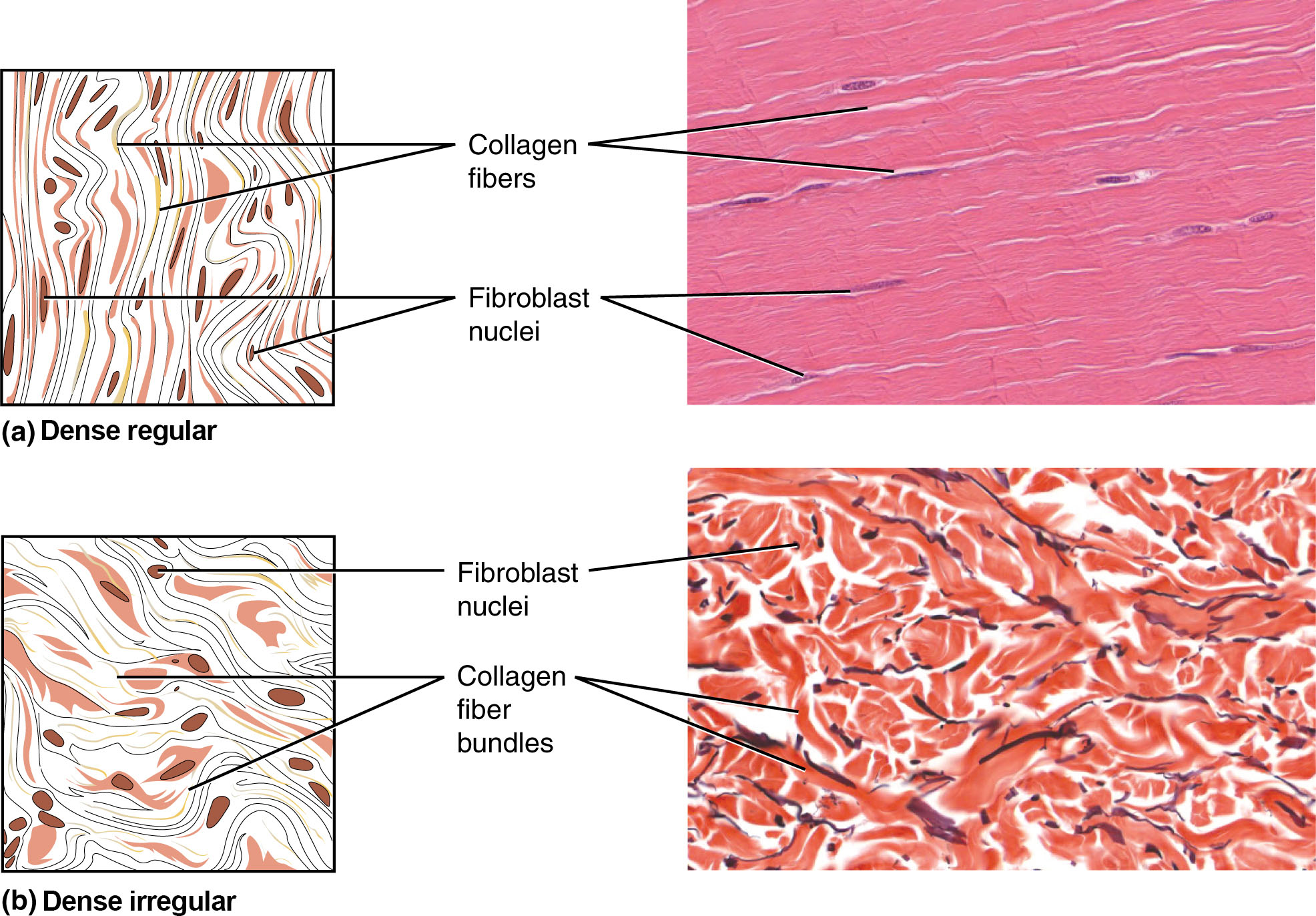 Part A shows a diagram of regular dense connective tissue alongside a micrograph. The tissue is composed of parallel, thread-like collagen fibers running vertically through the diagram. Between the vertical fibers, several dark, oval shaped fibroblast nuclei are visible. In the micrograph, the whitish collagen strands run horizontally. Several dark purple fibroblast nuclei are embedded in the lightly stained matrix. Part B shows a diagram of irregular dense connective tissue on the left and a micrograph on the right. In the diagram, the collagen fibers are arranged in bundles that curve and loop throughout the tissue. The fibers within a bundle run parallel to each other, but separate bundles crisscross throughout the tissue. Because of this, the irregular dense connective tissue appears less organized than the regular dense connective tissue. This is also evident in the micrograph, where the white collagen bundles radiate throughout the micrograph in all directions. The fibroblasts are visible as red stained cells with dark purple nuclei.