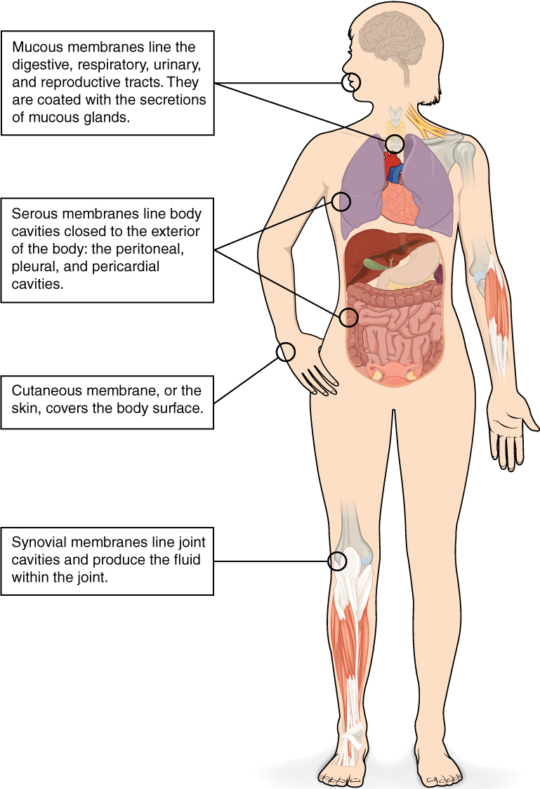 This illustrations shows the silhouette of a human female from an anterior view. Several organs are showing in her neck, thorax, abdomen left arm and right leg. Text boxes point out and describe the mucous membranes in several different organs. The topmost box points to the mouth and trachea. It states that mucous membranes line the digestive, respiratory, urinary and reproductive tracts. They are coated with the secretions of mucous glands. The second box points to the outside edge of the lungs as well as the large intestine and states that serous membranes line body cavities that are closed to the exterior of the body, including the peritoneal, pleural and pericardial cavities. The third box points to the skin of the hand. It states that cutaneous membrane, also known as the skin, covers the body surface. The fourth box points to the right knee. It states that synovial membranes line joint cavities and produce the fluid within the joint.