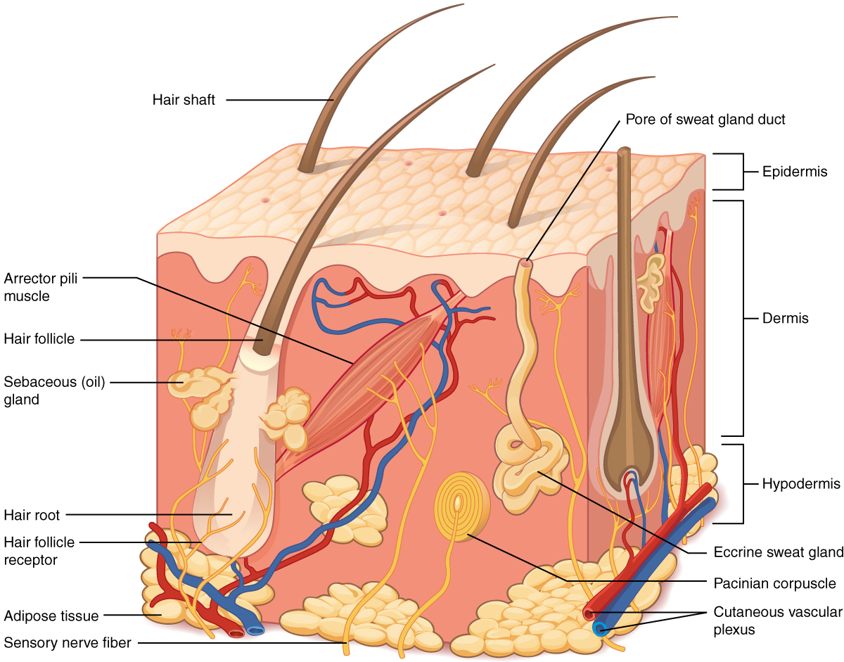 5 1 Layers Of The Skin Anatomy Physiology