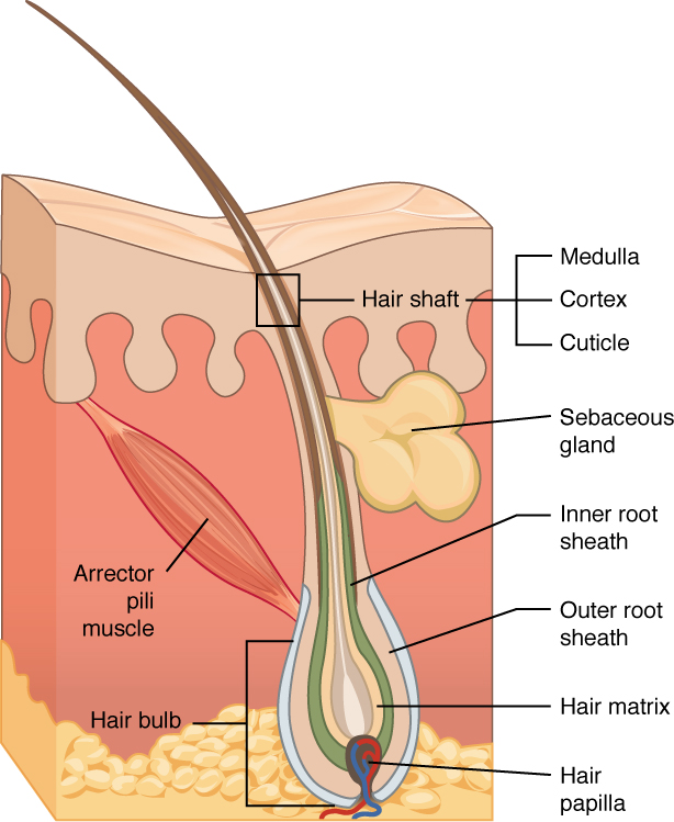 This diagram shows a cross section of the skin containing a hair follicle. The follicle is teardrop shaped. Its enlarged base, labeled the hair bulb, is embedded in the hypodermis. The outermost layer of the follicle is the epidermis, which invaginates from the skin surface to envelope the follicle. Within the epidermis is the outer root sheath, which is only present on the hair bulb. It does not extend up the shaft of the hair. Within the outer root sheath is the inner root sheath. The inner root sheath extends about half of the way up the hair shaft, ending midway through the dermis. The hair matrix is the innermost layer. The hair matrix surrounds the bottom of the hair shaft where it is embedded within the hair bulb. The hair shaft, in itself, contains three layers: the outermost cuticle, a middle layer called the cortex, and an innermost layer called the medulla.