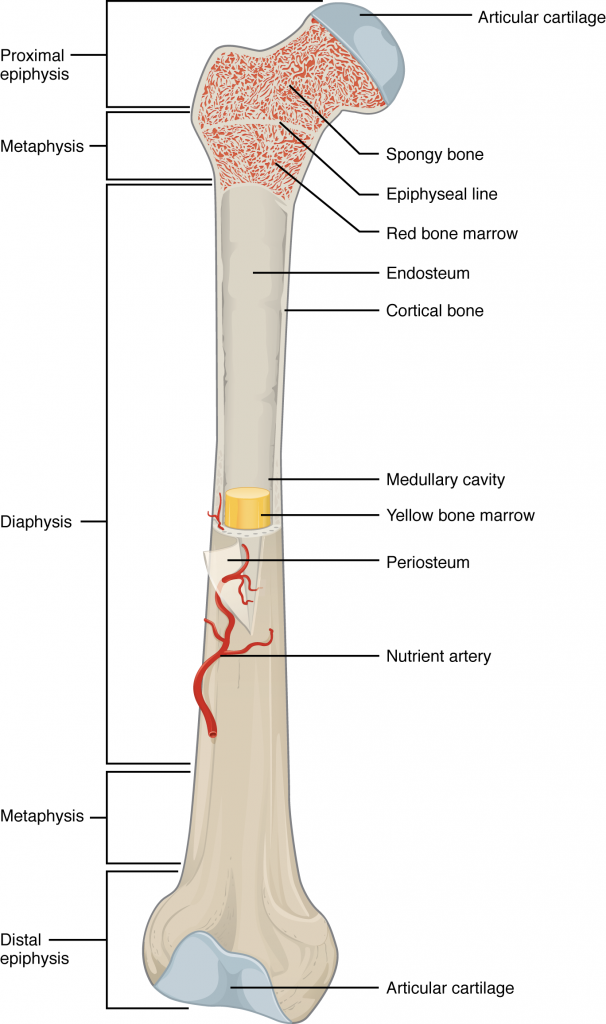 This illustration depicts an anterior view of the right femur, or thigh bone. The inferior end that connects to the knee is at the bottom of the diagram and the superior end that connects to the hip is at the top of the diagram. The bottom end of the bone contains a smaller lateral bulge and a larger medial bulge. A blue articular cartilage covers the inner half of each bulge as well as the small trench that runs between the bulges. This area of the inferior end of the bone is labeled the distal epiphysis. Above the distal epiphysis is the metaphysis, where the bone tapers from the wide epiphysis into the relatively thin shaft. The entire length of the shaft is the diaphysis. The superior half of the femur is cut away to show its internal contents. The bone is covered with an outer translucent sheet called the periosteum. At the midpoint of the diaphysis, a nutrient artery travels through the periosteum and into the inner layers of the bone. The periosteum surrounds a white cylinder of solid bone labeled compact bone. The cavity at the center of the compact bone is called the medullary cavity. The inner layer of the compact bone that lines the medullary cavity is called the endosteum. Within the diaphysis, the medullary cavity contains a cylinder of yellow bone marrow that is penetrated by the nutrient artery. The superior end of the femur is also connected to the diaphysis by a metaphysis. In this upper metaphysis, the bone gradually widens between the diaphysis and the proximal epiphysis. The proximal epiphysis of the femur is roughly hexagonal in shape. However, the upper right side of the hexagon has a large, protruding knob. The femur connects and rotates within the hip socket at this knob. The knob is covered with a blue colored articular cartilage. The internal anatomy of the upper metaphysis and proximal epiphysis are revealed. The medullary cavity in these regions is filled with the mesh like spongy bone. Red bone marrow occupies the many cavities within the spongy bone. There is a clear, white line separating the spongy bone of the upper metaphysis with that of the proximal epiphysis. This line is labeled the epiphyseal line.
