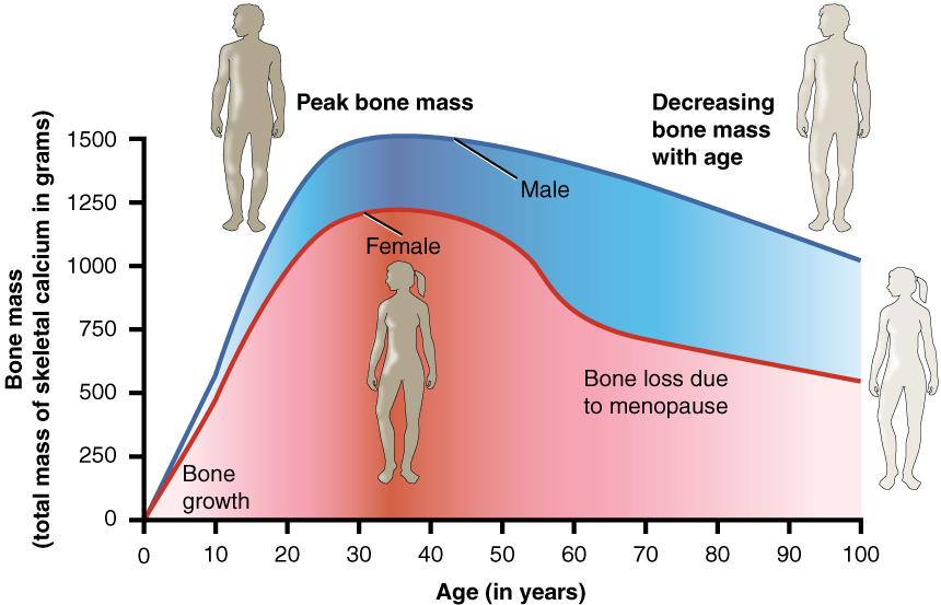 This graph shows bone mass (total mass of skeletal calcium in grams) on the Y axis. The Y axis scale goes from 0 up to 1500. The x axis displays age in years from 0 to 100 years. Two plot lines are shown: a blue line for males and a pink line for females. Male bone mass climbs rapidly from 0 grams to 1500 grams between age 0 and age 25. Bone mass then slowly drops to 1000 grams between age 25 and age 100. Female bone loss climbs rapidly from 0 grams to about 1200 grams between age 0 and age 28. Female bone mass then drops very slowly from 1200 grams to 1000 grams between age 29 and age 55. Bone mass then drops steeply from 1000 grams to 750 grams between ages 55 and 60. This is labeled on the graph as bone loss due to menopause. After this steep drop, the female line again levels somewhat, but still drops gradually, much like that of the male. Between age 60 and age 100, female bone density drops from 750 grams to about 625 grams.