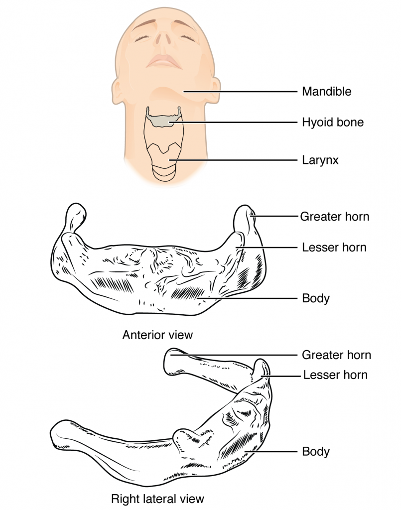 In this image, the location and structure of the hyoid bone are shown. The top panel shows a person's face and neck, with the hyoid bone highlighted in grey. The middle panel shows the anterior view and the bottom panel shows the right anterior view.