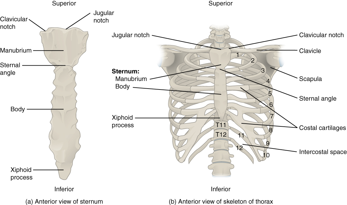 7 5 The Thoracic Cage Anatomy Physiology