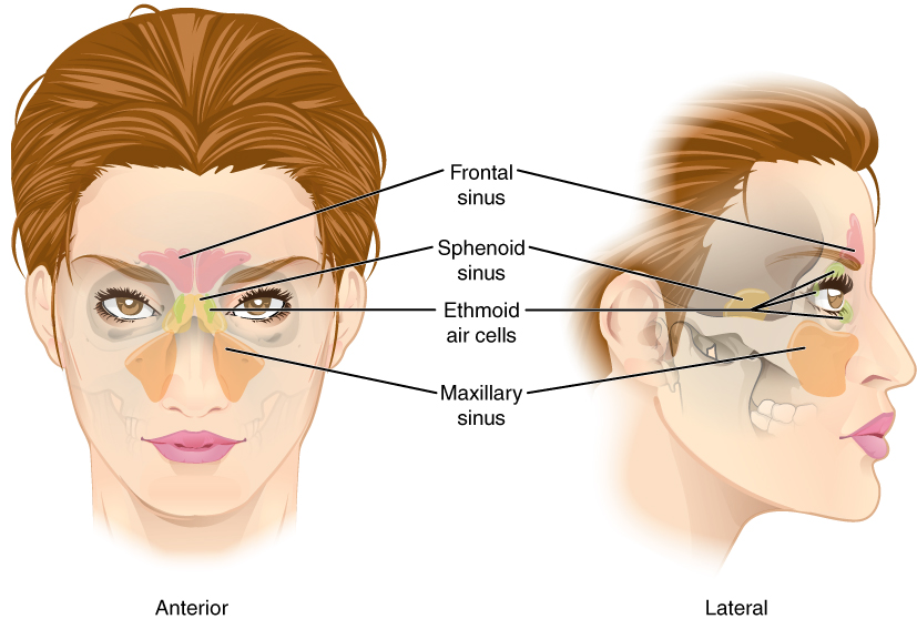 This figure shows a woman's face and the location of the paranasal sinuses. The left panel shows the anterior view of the woman's face with the sinuses labeled. The right panel shows the lateral view of the woman's face with the same parts labeled.