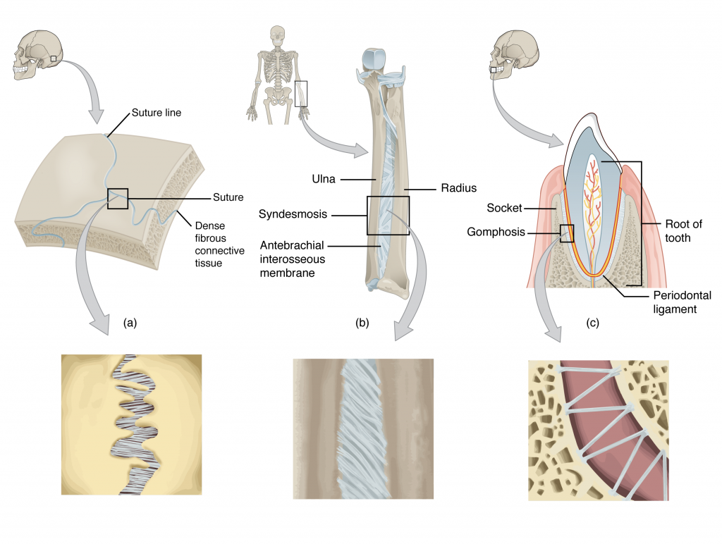 This figure shows the different types of fibrous joints. The right panel shows sutures, the middle panel shows an interosseous membrane, and the left panel shows a gomphosis.