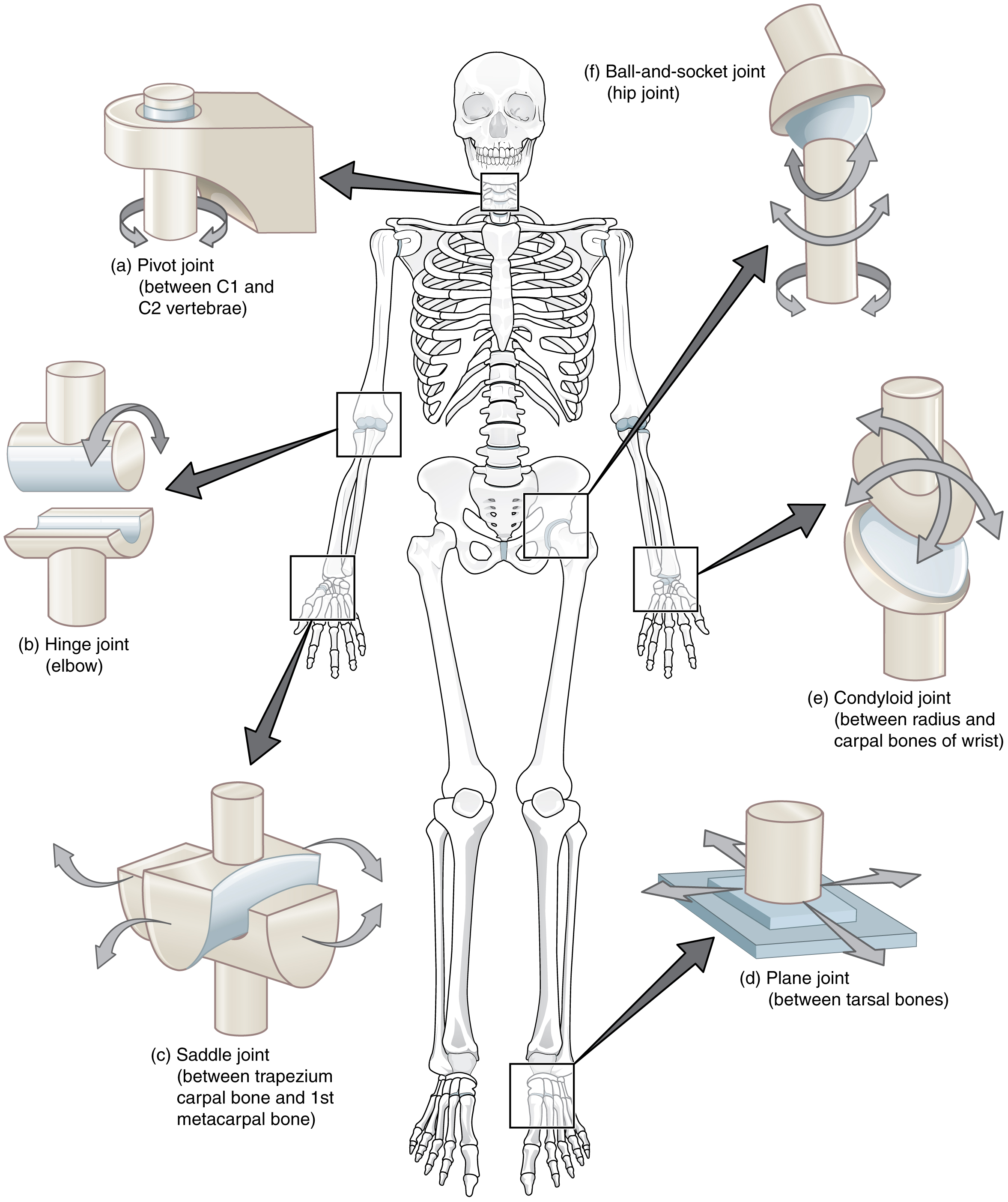 9.4 Synovial Joints – Anatomy & Physiology