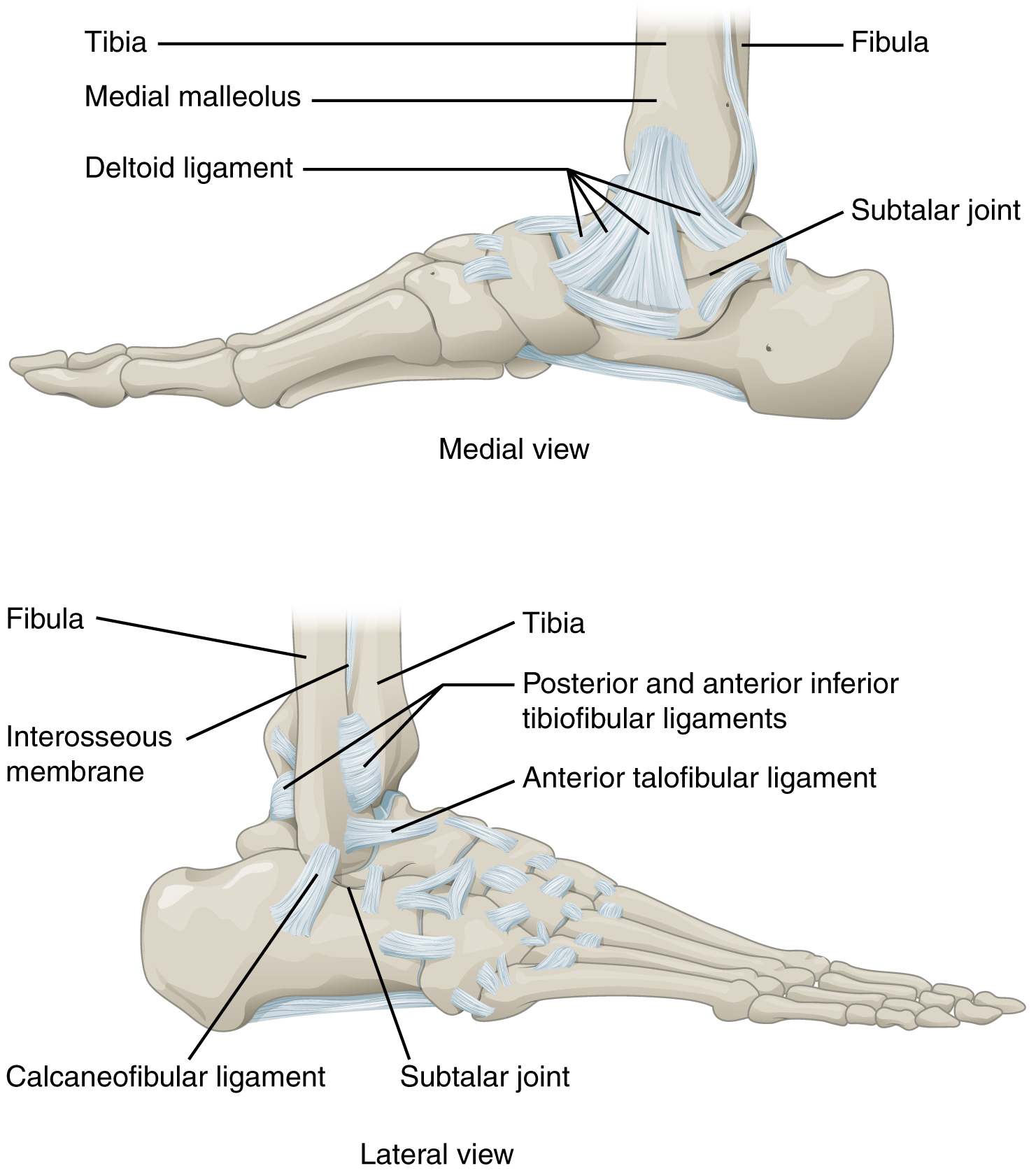 This figure shows the structure of the ankle and feet joints. The top panel shows the medial view of the ankle joint, and the bottom panel shows the lateral view.