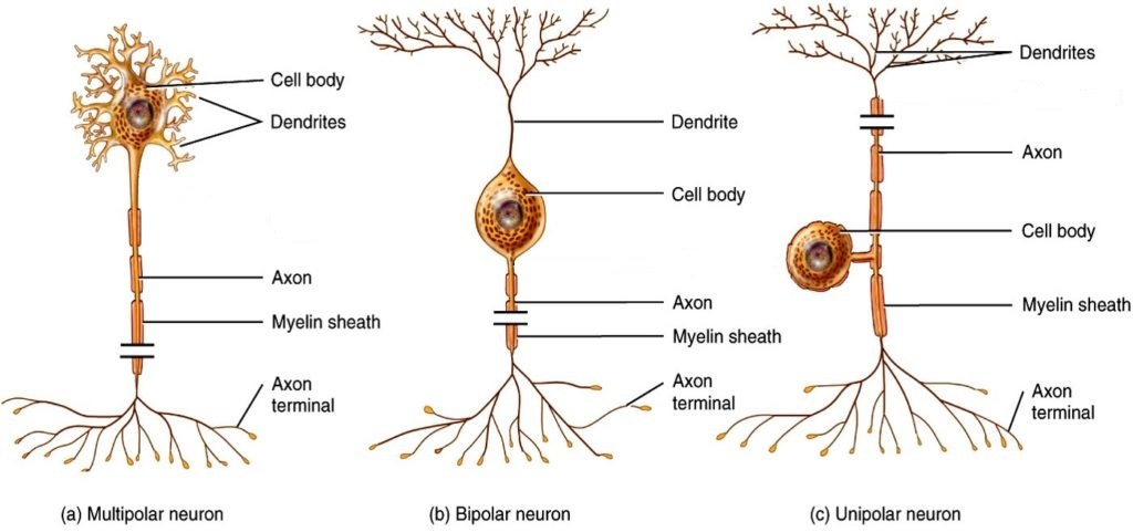 12.2 Nervous Tissue - Anatomy & Physiology