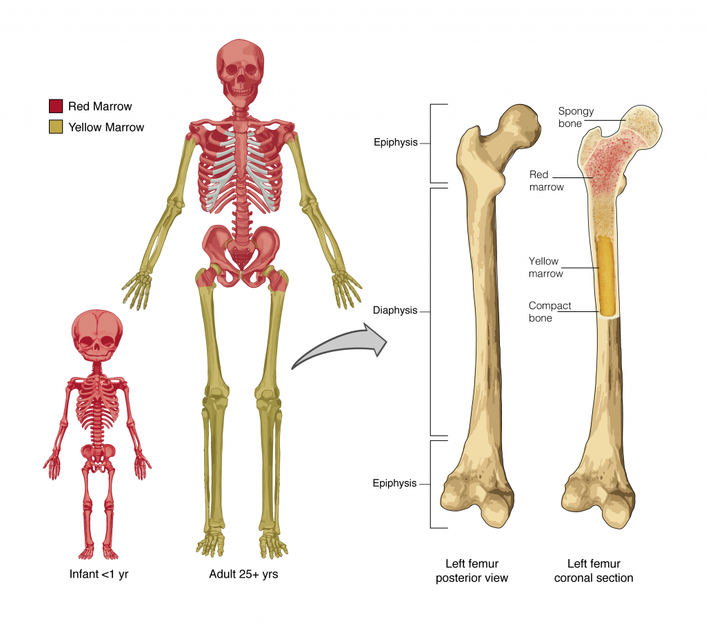 6 1 The Functions of the Skeletal System – Anatomy & Physiology