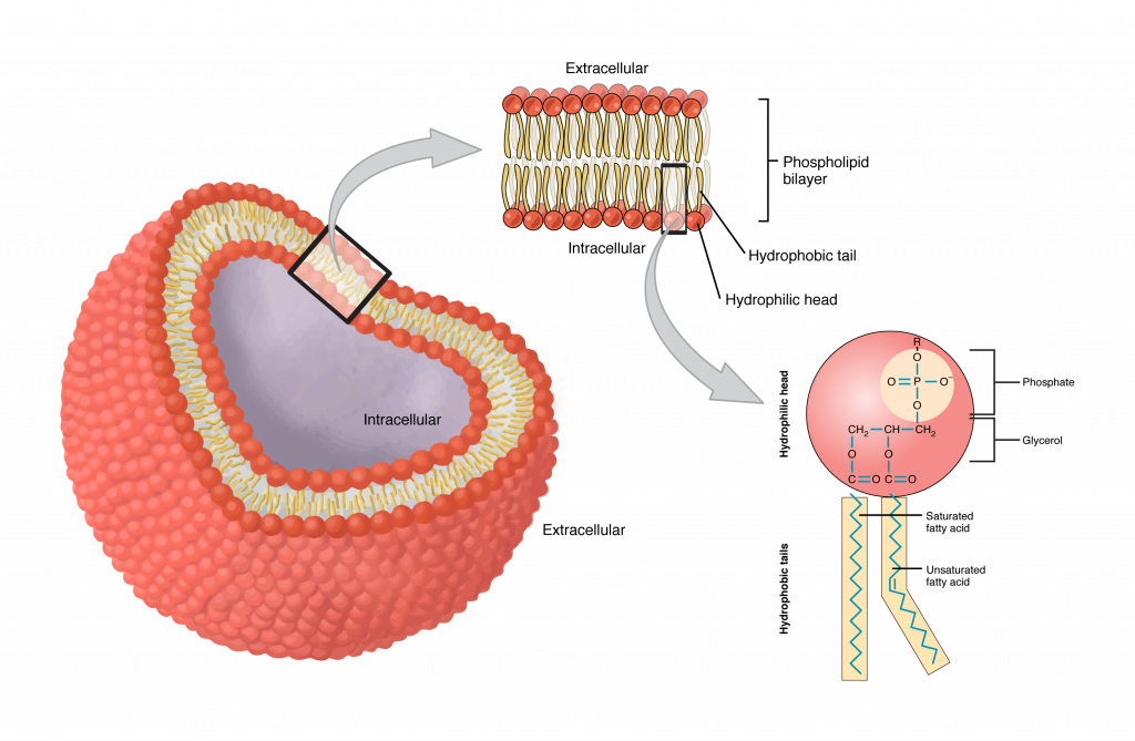 A Detailed Diagram Models Of Cell Membrane Stock Vector Manual Guide