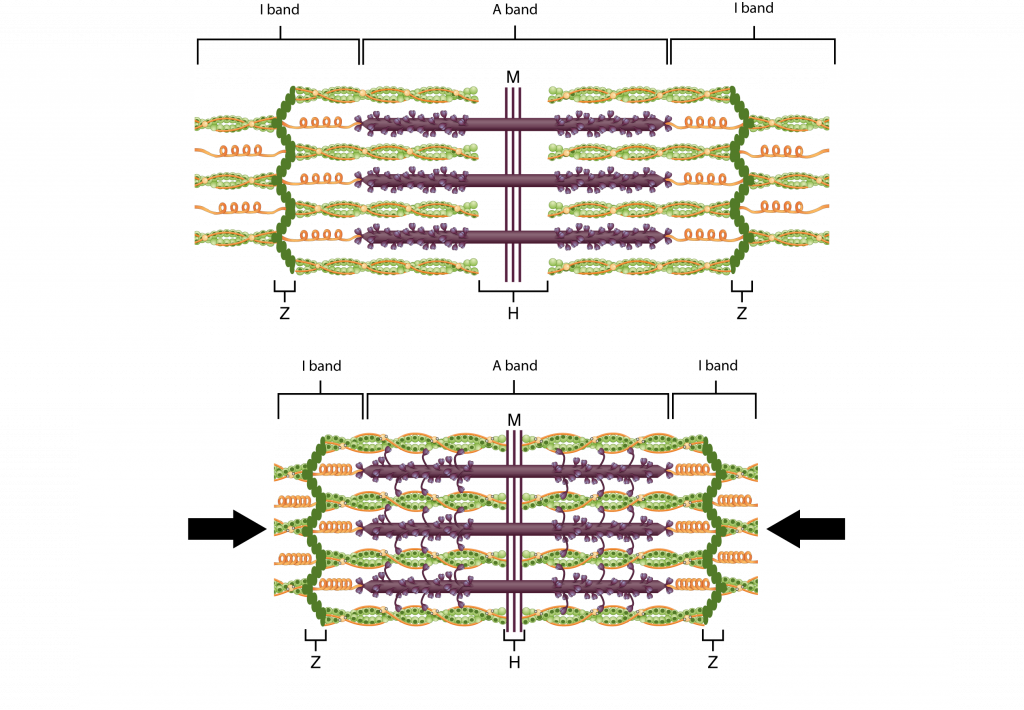 This diagram shows how muscle contracts. The top panel shows the stretched filaments and the bottom panel shows the compressed filaments.