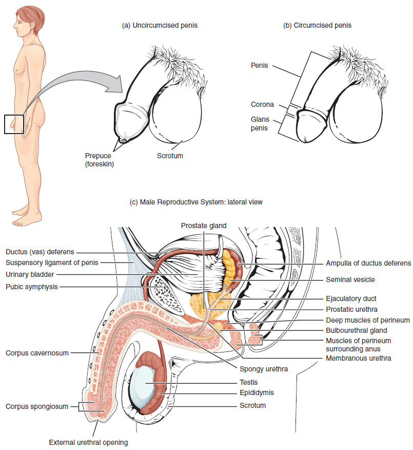 This figure shows the different organs in the male reproductive system. The top panel shows the side view of a man and an uncircumcised and a circumcised penis. The bottom panel shows the lateral view of the male reproductive system and the major parts are labeled.