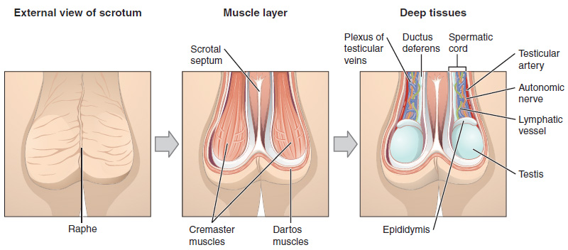 This figure shows the scrotum and testes. The left panel shows the external view of the scrotum, the middle panel shows the muscle layer and the right panel shows the deep tissues of the scrotum.