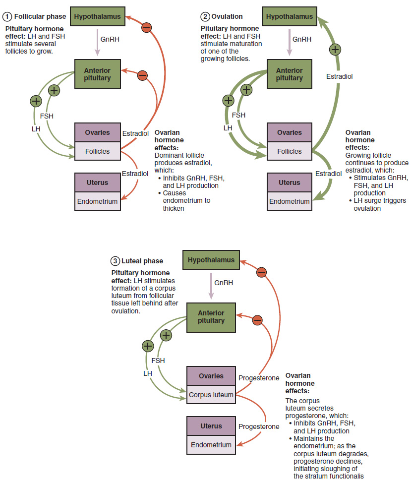 This figure shows three flowcharts. The flowchart on the top left shows the hormonal regulation of the follicular phase. The flowchart on the top right shows the hormonal regulation of the ovulation phase. The bottom flowchart shows the hormonal regulation of luteal phase.