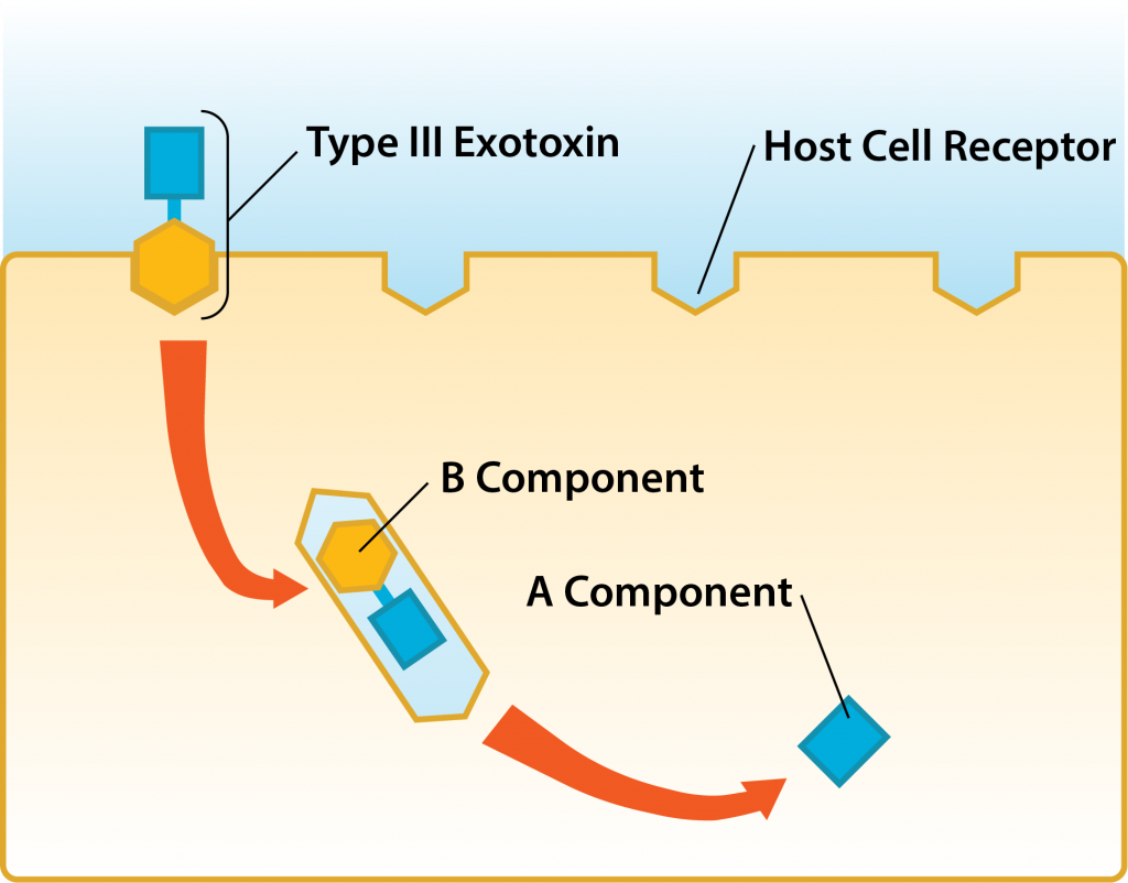 AB-toxin: Host Cell Binding.