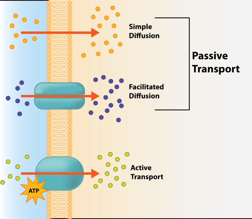 Active Transport Versus Passive Transport