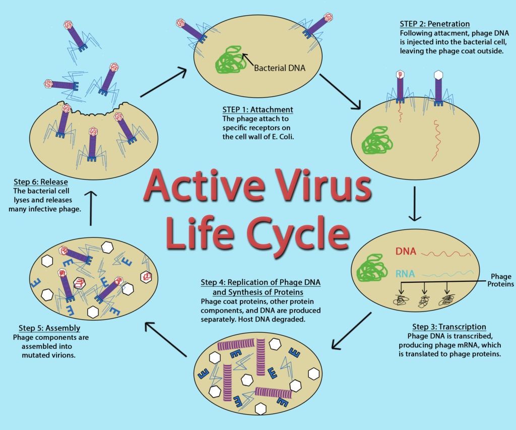 Active Virus Life Cycle