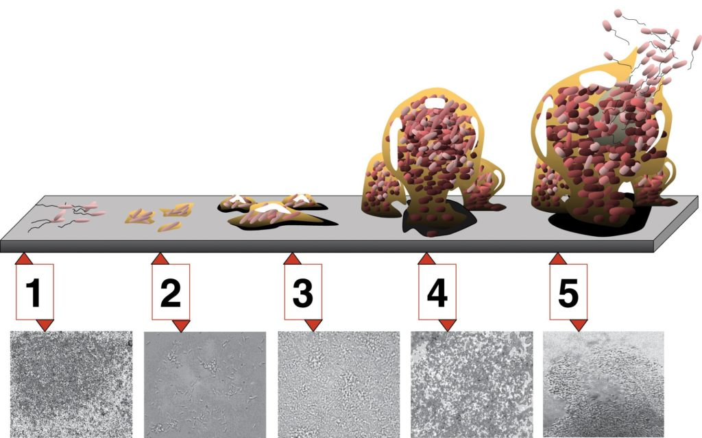 Biofilm Development. Each stage of development in the diagram is paired with a photomicrograph of a developing Pseudomonas aeruginosa biofilm. All photomicrographs are shown to same scale.