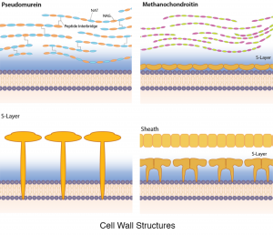 Cell Wall Structural Diversity.