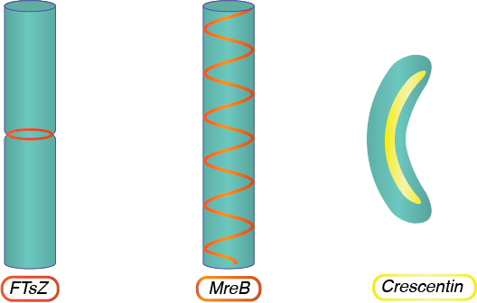 Cytoskeleton Structures.