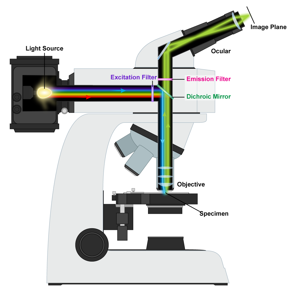 Fluorescence Microscope Mechanism.