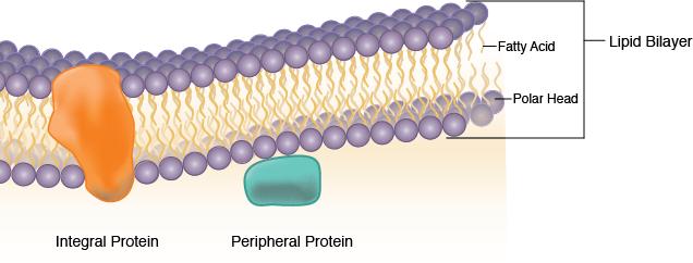 Plasma Membrane Structure.