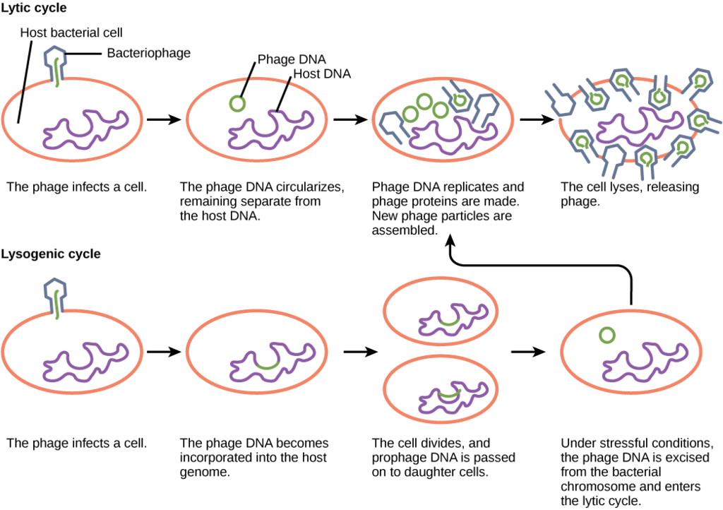 Lytic Cycle Versus Lysogenic Cycle of Replication